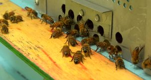 Swarm of bees in the hive stock video footage