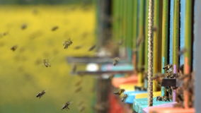 Swarm of bees stock video