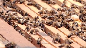 Swarm of bees. Hives in the apiary, frames with honey. stock video