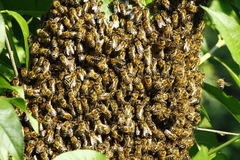Swarm of bees Royalty Free Stock Photos