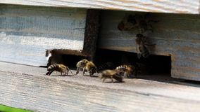 Swarm of bees near beehive stock footage