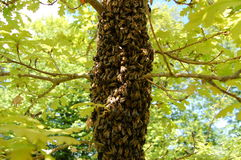 A swarm of bees on an oak tree Royalty Free Stock Photography