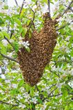 Swarm of bees Stock Photos