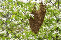 Swarm of bees. Over the tree in countryside Royalty Free Stock Images