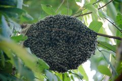 A swarm of bees stuck around an oak tree royalty free stock images