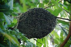 A swarm of bees stuck around an oak tree stock photography