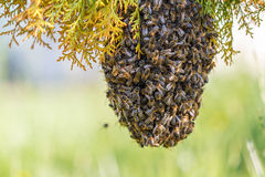 Swarm of bees Royalty Free Stock Photography