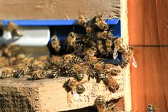 Swarm of bees working in the hive. Wild nature group insect Royalty Free Stock Images
