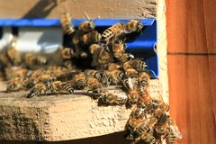 Swarm of bees working in the hive. Wild nature group insect Royalty Free Stock Image