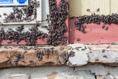 Swarm of Box Elder Bugs Royalty Free Stock Photos