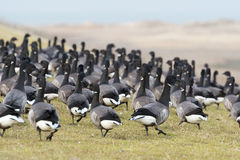 Swarm Brent gooses Stock Photography