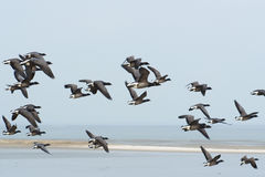 Swarm Brent gooses above the wadden sea Stock Image