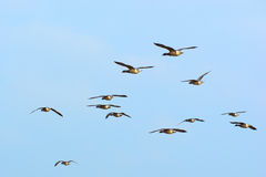 Swarm Brent gooses in the sky. Swarm brent gooses flying in the blue sky Stock Photo