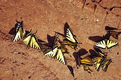 Swarm of butterflies. Swarm of Eastern Tiger Swallowtail butterflies resting on sandy outdoors stock image