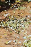 Swarm butterflies flying in the wild and some perched on the sand. Bulbous butterfly.
