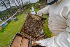 Swarm collected honey multiple bees. Swarm harvested honey multiple bees in honeycomb stock photography