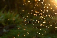 Swarm of crane flies. Crane flies flying towards setting sun royalty free stock photography
