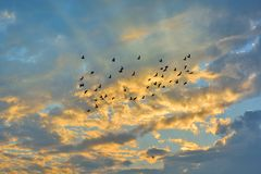 Swarm of Doves flying on sunset. Bright color royalty free stock images
