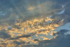 Swarm of Doves flying on sunset Stock Photos