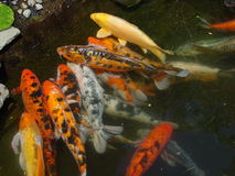 Swarm of Fish. A load of fish trying to eat food Stock Photo