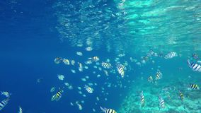A swarm fishes Indopacific Sergeant swimming over a coral reef stock video