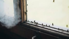 A swarm of flies gets mad when smoke hits the flies. Cool footage of insects. Unusual atmosphere stock footage