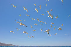 Swarm of flying sea gulls Royalty Free Stock Image