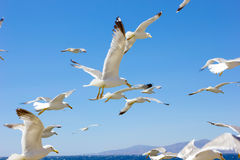 Swarm of flying sea gulls Royalty Free Stock Images