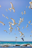 Swarm of flying sea gulls Stock Photography