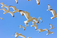 Swarm of flying sea gulls Stock Image