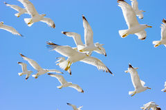 Swarm of flying sea gulls Stock Photo