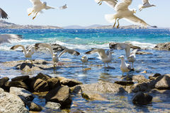 Swarm of flying sea gulls Stock Photos