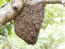 Swarm of honey bee clinging Stock Photos