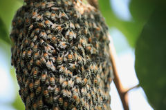 A swarm of honey bees. Clinging to a tree Royalty Free Stock Photos