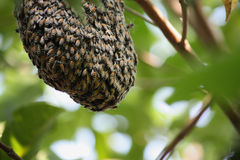 A swarm of honey bees Royalty Free Stock Photography