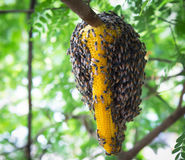 Swarm of honeycomb. On tree stock image
