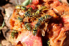 Swarm of Hornets Gorging on a Rotten Apple Royalty Free Stock Photography