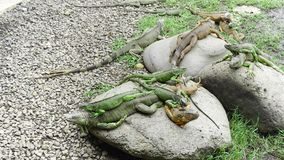 A swarm of Iguana on top of the rock royalty free stock images