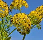 Swarm of insects on fennel flowers. Wildflowers of fennel and insects Stock Photo