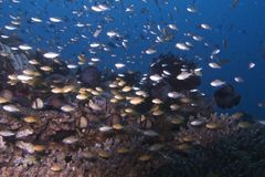 Swarm of juvenile fish off Balicasag Island, Bohol Philippines Stock Images