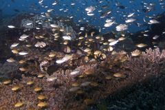 Swarm of juvenile fish over coral reef in Balicasad Island Stock Image