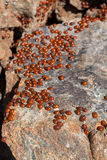 A swarm of Ladybirds (coccinellidae) Stock Photography