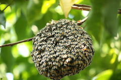 Swarm of many bees on a tree branch. Help build honeycomb Stock Image