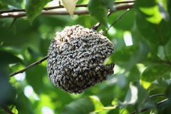 Swarm of many bees on a tree branch Royalty Free Stock Image