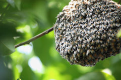 Swarm of many bees on a tree branch Royalty Free Stock Photography