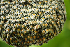 Swarm of many bees. On a tree branch help build honeycomb Stock Photography