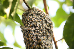Swarm of many bees on a tree branch Stock Photo