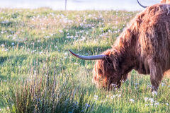 Swarm of midges attacking highland cows Stock Images