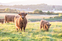 Swarm of midges attacking highland cows Royalty Free Stock Images