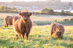 Swarm of midges attacking highland cows Stock Photo